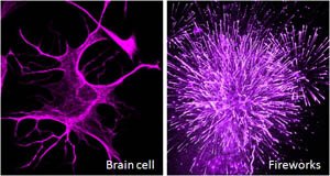 Another example of immunofluorescence.(Firework pic from http://www.flickr.com/photos/pressdog/6809029405/)